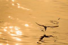 FlygSeagull som tar mat från havet på Bangpoo thailand Arkivbild