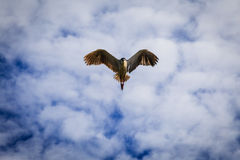 Flygseagullfågel Arkivfoto