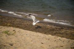 FlygSeagulllandning på en strand Royaltyfria Foton