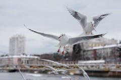 Flygseagulls på stadsbakgrund Arkivbilder
