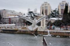 Flygseagulls på stadsbakgrund Royaltyfria Foton