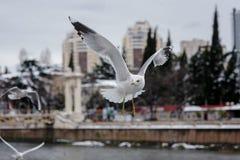 Flygseagulls på stadsbakgrund Fotografering för Bildbyråer