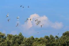 Flygspoonbills i Hengforderwaardenen, Holland Royaltyfri Foto