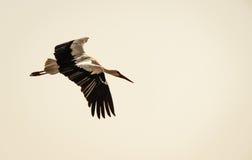 Flygstork med spridningvingar Fotografering för Bildbyråer