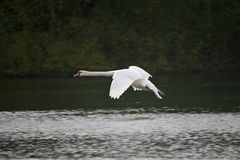 flygswan Arkivfoto