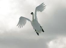 flygswan Arkivfoton