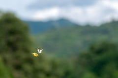 Flyi влюбленности бабочки на предпосылке травы Стоковое Изображение RF