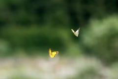Flyi влюбленности бабочки на предпосылке травы Стоковое Изображение