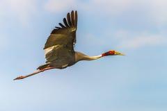 Flyin крана Sarus Стоковая Фотография RF