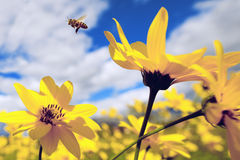 Flyin de la abeja en las flores amarillas Imagen de archivo libre de regalías