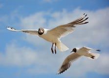 Flyin seagull fotografia stock