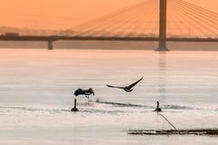 Flyinf de Gooses en la puesta del sol en un río Fotografía de archivo