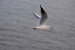 Flying. A photo of a flying seagull royalty free stock images