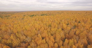 Flying above colorful autumn leaves on a trees in. Colorful autumn leaves on a trees in forest stock video
