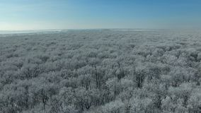 Flying above the forest in winter. Aerial video of a winter forest at sunny day. Drone moving forward at high altitude. 4K Aerial stock footage shot at winter stock video