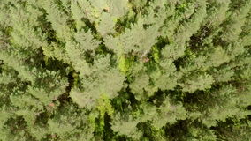 Flying above pine woods in summer stock video footage
