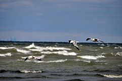 Flying Above The Waves. Ring billed gulls fly over waves on lake ontario royalty free stock image