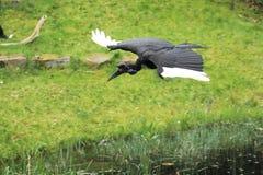 Flying abyssinian ground hornbill Stock Photo