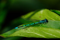 Flying adder. Dragonfly on green leaves macro Royalty Free Stock Photos