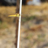 Flying adder Stock Photos