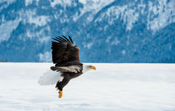 Flying Adult Bald Eagle Royalty Free Stock Photos