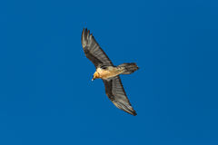 Flying adult bearded vulture Gypaetus barbatus with blue sky Royalty Free Stock Photos