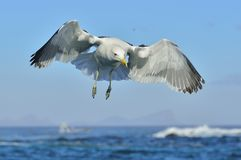 Flying Adult Kelp gull Larus dominicanus, also known as the Dominican gull and Black Backed Kelp Gull. Natural blue backgrou Royalty Free Stock Photography
