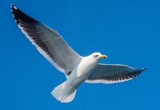 Flying adult Kelp gull Larus dominicanus, also known as the Dominican gull and Black Backed Kelp Gull. Natural blue sky backgrou Stock Image
