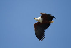 Flying African Fish Eagle Royalty Free Stock Image