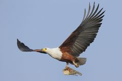 Flying African Fish Eagle with fish. Flying African Fish Eagle with a fish photographed in Southern Africa over water Royalty Free Stock Photo