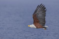 Flying African Fish Eagle over water Stock Photography