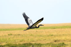 Flying african heron Royalty Free Stock Photography