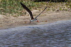 Flying African Skimmer Stock Photo