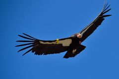 Flying American Condor near Big Sur, California, United states Royalty Free Stock Photo