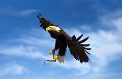 Flying american eagle Royalty Free Stock Photography