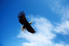 Flying american eagle Royalty Free Stock Photo