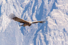 Flying Andean Condor. Andean Condor flying in the Colca Canyon near Arequipa, Peru stock image