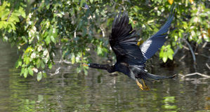 Flying Anhinga bird, commonly known as the snakebird, Stock Photography