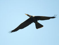 Flying Anhinga Stock Image