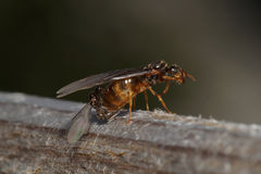Flying ant Royalty Free Stock Photo