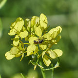 Flying ant on wild yellow flower Stock Photo