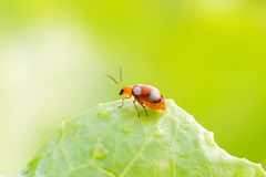 Flying ant Royalty Free Stock Images