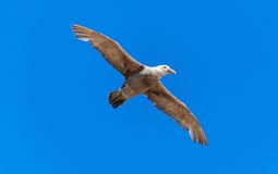 Flying Antarctic Bird Petrel Royalty Free Stock Photography