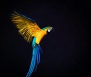Flying Ara. Colourful flying Ara on a dark background Royalty Free Stock Image