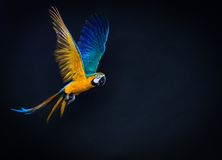 Flying Ara. Colourful flying Ara on a dark background Royalty Free Stock Photography