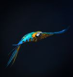 Flying Ara Stock Image