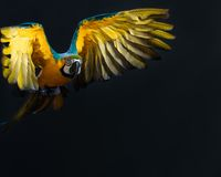 Flying Ara. Colourful flying Ara on a dark background Stock Photography