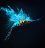 Flying Ara parrot. Over colourful powder explosion Royalty Free Stock Photos