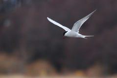 Flying Arctic Tern Royalty Free Stock Photos