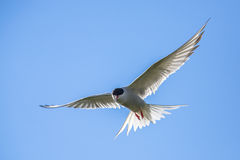 Flying arctic tern Royalty Free Stock Image